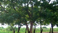 Neem-Wald, Active Aid in Africa in Ngona, Malawi